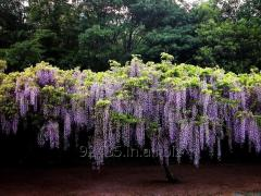 Wisteria Sinensis Plant