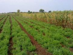 Investor required for Stevia Cultivation...