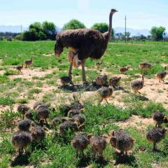 Ostrich Chicks for sale /Red and Black neck