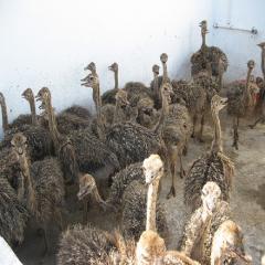 Healthy Live Ostrich Chicks