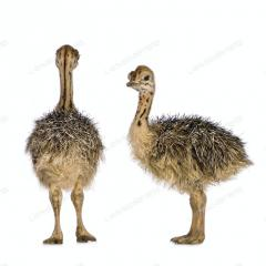 Ostrich Chicks for sale Red and Black neck Ostrich