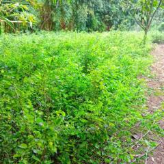 Pithecellobium Dulce ( or jungle jalebi )