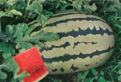 Watermelon seeds - Bejo-2000