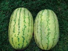 Watermelon seeds - NS 295