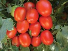 Tomato seeds - Vaibhav