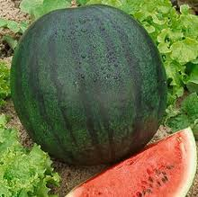 Watermelon seeds - Sugar Baby (O.P.)