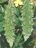 Bitter gourd hybrid vivek seed