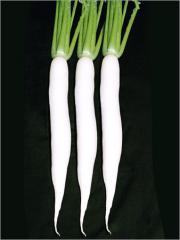 Radish hybrid seed - R-33
