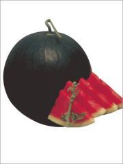Watermelon hybrid sitara seed