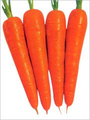 Carrot hybrid seed no. 501