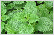 Natural Menthol & Other Mint Products