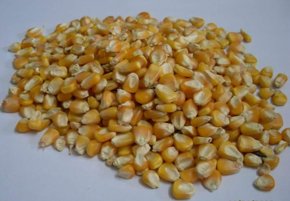 yellow_maize