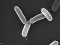 Bio fertilizers Azotobacter