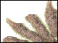 Sticklac