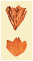 Cigar Wrapper Tobacco (West Bengal)