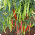Hot Peppers - Deepika