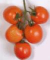Hybrid Tomato Amar