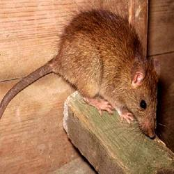 Order Rodent Control services