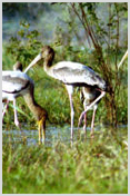 Order Wildlife tours - North India birding