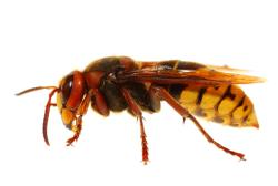 Order Wasps pest control