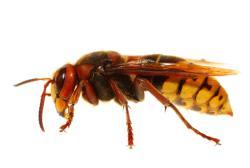 Order Wasps pest control