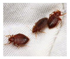 Order Bed Bugs Control Services