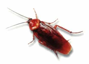 Order Pest Control services Cockroach