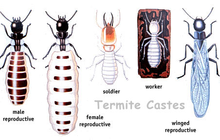 Order Termite Disinsectization