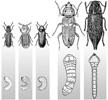 Order Borer (Bora) - Wood Bring Insects