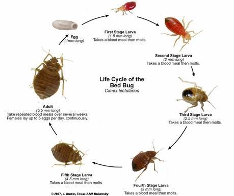Order Bed Bug (Cimex lectularius) Disinsectization
