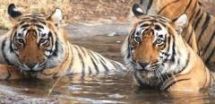 Tiger and Rajasthan Tour