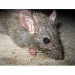 Rat Control Treatmant