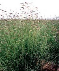 Grass Seedling