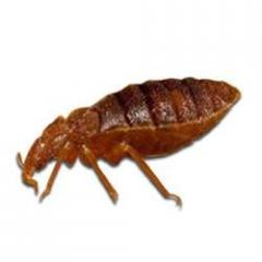 Bed Bugs Treatment