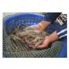 Shrimp Culture