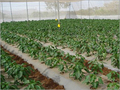 Protected Cultivation