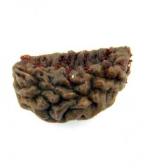 Natural Ek Mukhi Rudraksha of Kaju Dana - 22MM