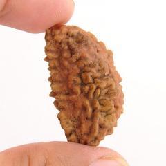 One Mukhi Kaju Dana Natural Rudraksha